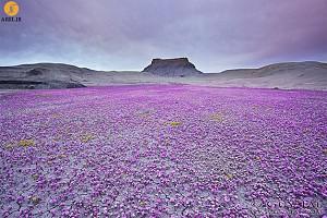 دیافراگم: تصاویر شگفت انگیز گلهای رنگارنگ در صحرای یوتا
