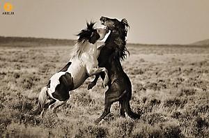 دیافراگم آرل: در دنیای پرشکوه اسبهای وحشی
