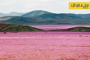 دیافراگم: تصاویری شگفت انگیز از رویش گل در خشکترین بیابان دنیا